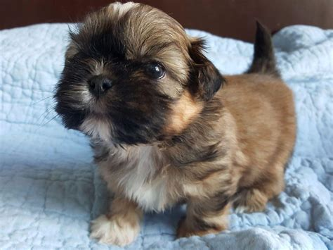 american shih tzu club shih tzu for sale by royal shih tzus american kennel club