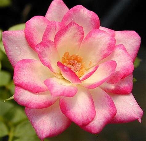 Tanaman Mawar Pink Carousel tanaman mawar carousel