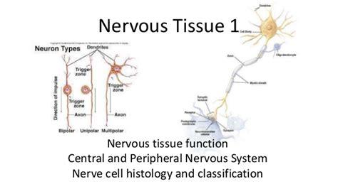 nervous tissue labeled diagram nervous tissue 1