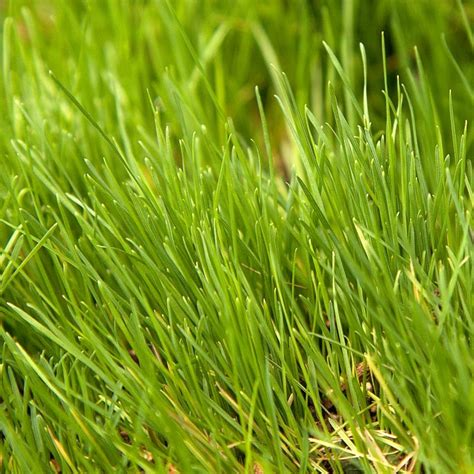 Grass Seed by Timothy Grass Seed Lb