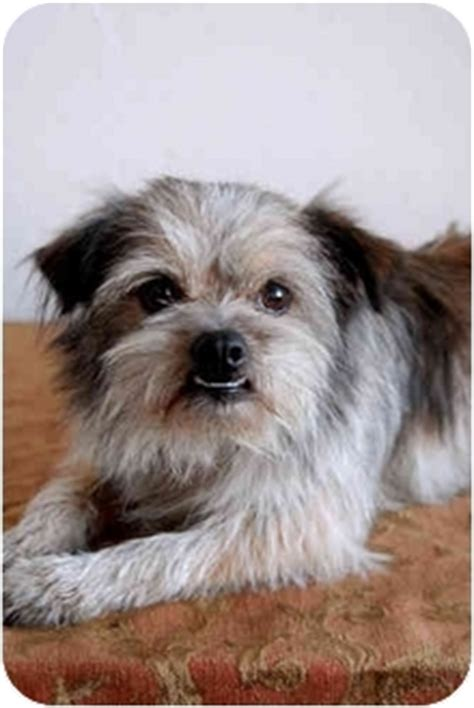 brussels griffon and shih tzu mix ragu adopted los angeles ca brussels griffon shih tzu mix