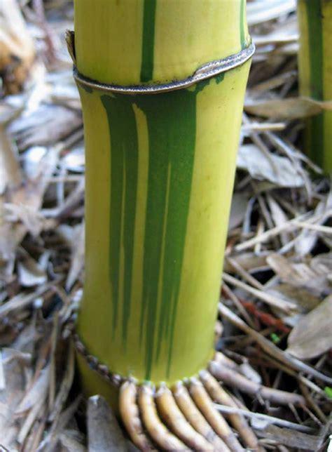 phyllostachys viridis robert young