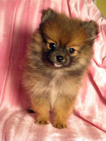 adopt a teacup pomeranian micro teacup pomeranian for adoption