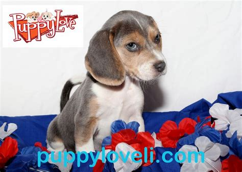 puppy franklin square 25 best ideas about beagles for sale on beagle dogs for sale beagle pups