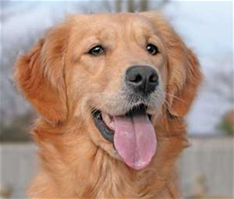 golden retriever breeders ta golden retriever golden www pixshark images galleries with a bite