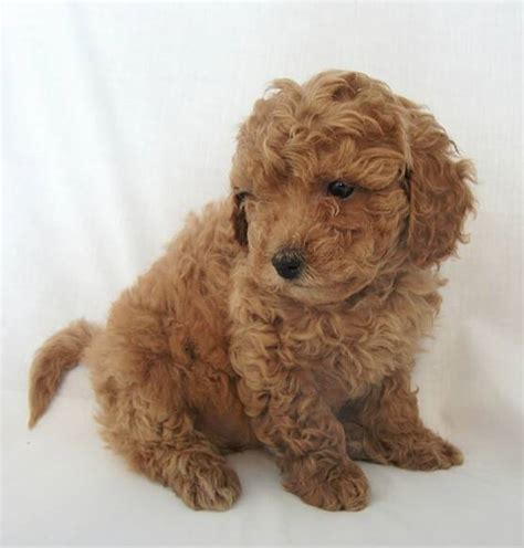 goldendoodle puppy aggressive 8 things to about the miniature goldendoodle mini
