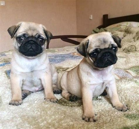 pug breeders in oklahoma pug puppies for sale kaw city ok 268407 petzlover