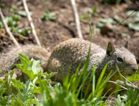 squirrel pest garden temecula pest knockout pest terminte