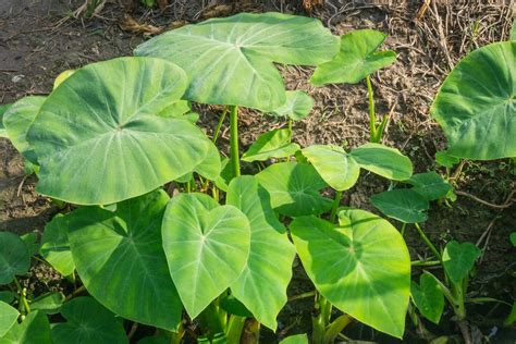 elephant ear plant www pixshark com images galleries with a bite