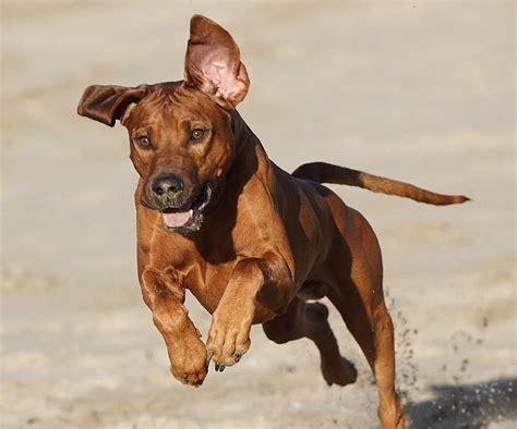rhodesian ridgeback puppy cost rhodesian ridgeback breed information puppies pictures