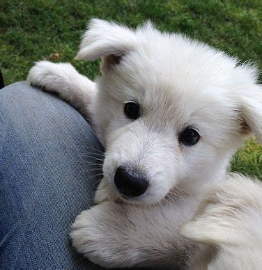 berger blanc suisse puppies for sale best 25 puppies for sale ideas on tiny puppies for sale tiny dogs