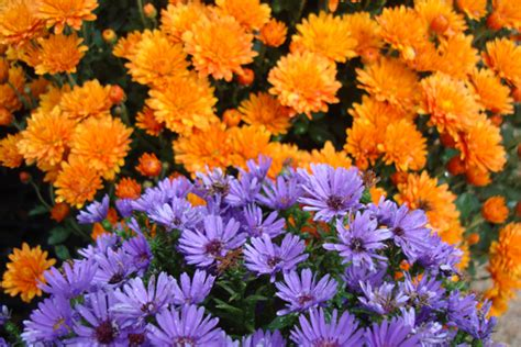 another last blast of summer flowers bergen county new mums asters fort collins nursery
