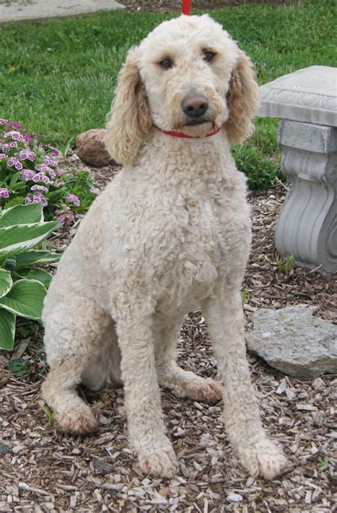 goldendoodle hair types types of goldendoodle haircuts google search