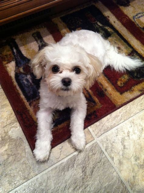 shih poo hair cuts haircuts for shih tzu poo hairstylegalleries com