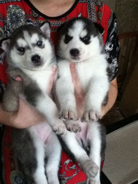 siberian husky puppies for sale in illinois teacup pomeranian husky mix puppy for sale quotes