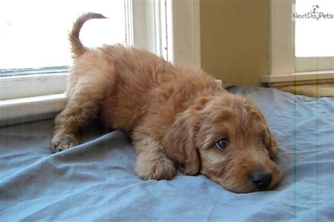 doodle puppies for sale doodle puppies for sale in wisconsin photo breeds picture