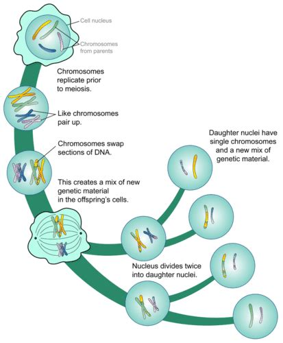 mitosis flowchart 2 37 meiosis biology libretexts