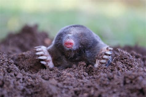 mole animal facts pictures diet character behavior