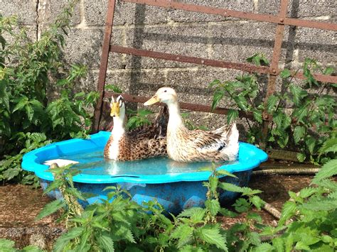 apple yard appleyard for sale ducks breed information omlet