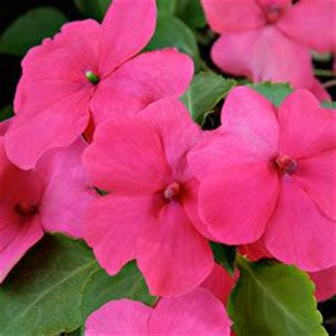 popular garden flower 17 best images about impatiens on shade garden