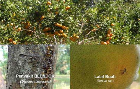 jenis hama penyakit tanaman jeruk gejala