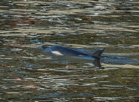 thames river dolphin dolphin sighted in thames near chiswick