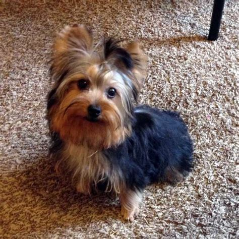 buy yorkies yorkies for sale buy miniature puppy bobby