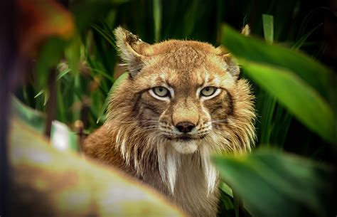 lynx hd wallpaper background image  id
