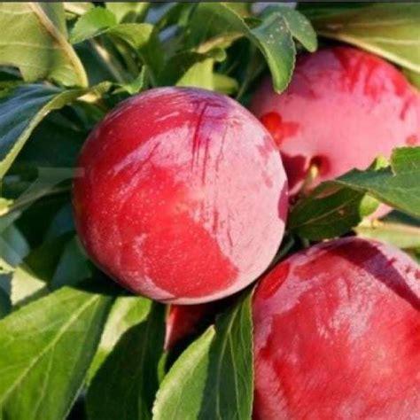 Jual Bibit Anggur Australia jual bibit unggul tanaman plum australia bibit