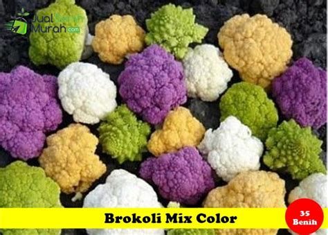 Benih Bibit Bunga Krisan Mix Color Maica Leaf 2 benih brokoli mix color maica leaf jualbenihmurah