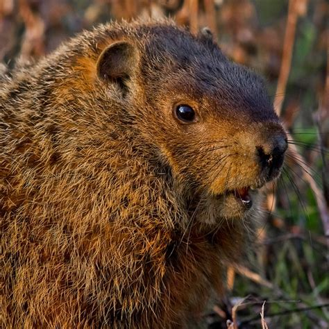 groundhog day analysis 49 best woodchuck reference images on