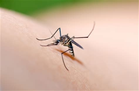 researchers have determined why mosquitoes find ankles and are you a mosquito magnet crazy health facts