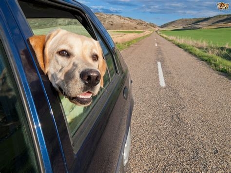 why do dogs their nose dogs and car trips why do they sticking their nose out of the window pets4homes