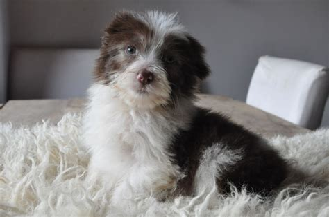 bearded collie puppies for sale bearded collie puppies for sale lydney gloucestershire pets4homes