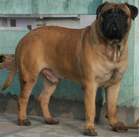 bullmastiff puppies price bull mastiff price in indiabull mastiff puppy for sale in meerut breeds picture