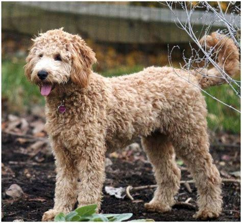 mini goldendoodle lifespan goldendoodle