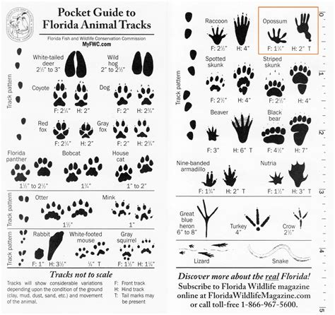 printable animal tracks identification florida animal tracks identification google search