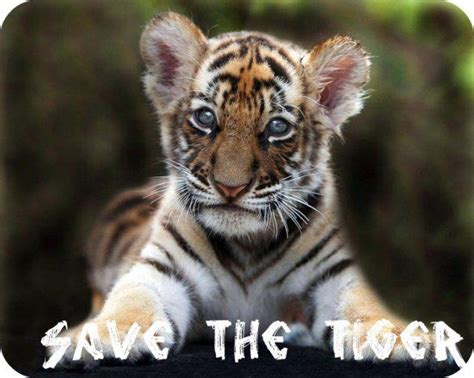the tiger who would wildography safaris 187 blog archive save the tiger