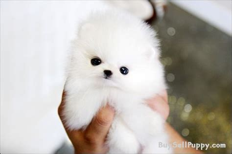 when to give puppies adorable best give away pomeranian puppies 240 542 7487 in houston