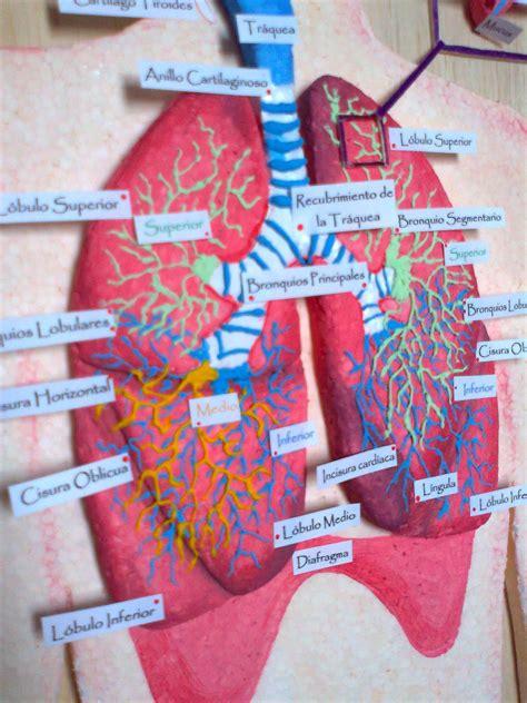 como hacer una maqueta del sistema respiratorio maquetas y arte aparato respiratorio