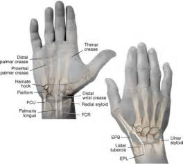 Figure 4 11 surface anatomy of the hand and wrist