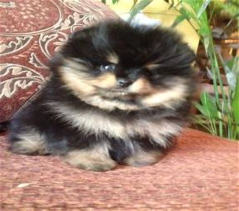 pomeranian puppies for sale in los angeles white pomeranian puppies for sale los angeles southern california riverside ca