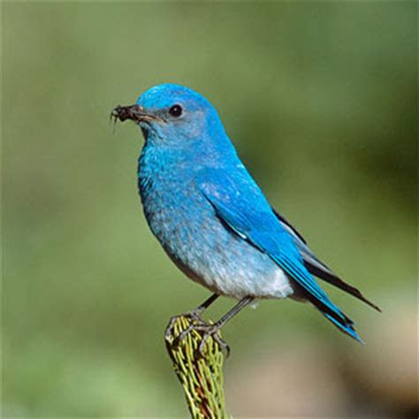 idaho state mountain bluebird state birds