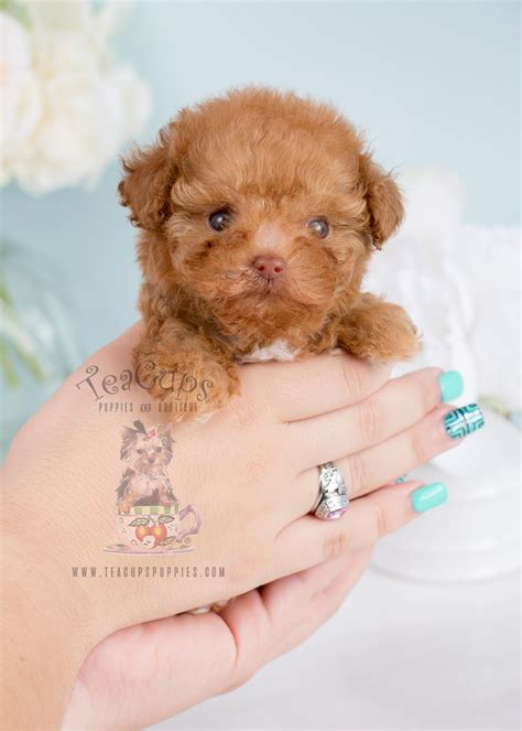 tiny poodle puppies for sale for sale 243 teacup puppies black poodle puppy teacups puppies boutique