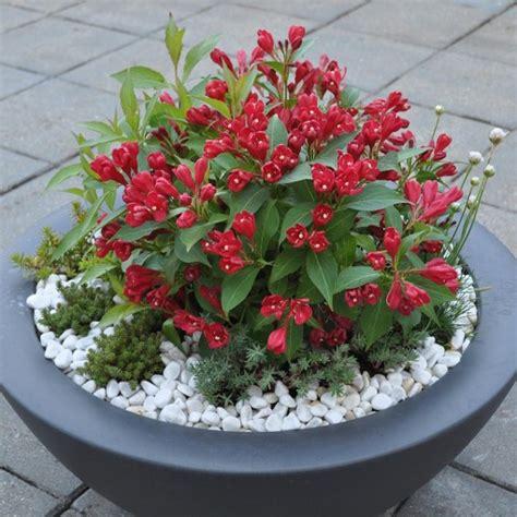 weigela all summer red mirror garden