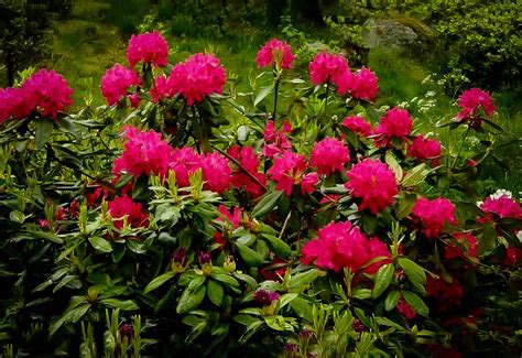 All Year Flowering Shrubs - red rhododendron nova zembla the tree center