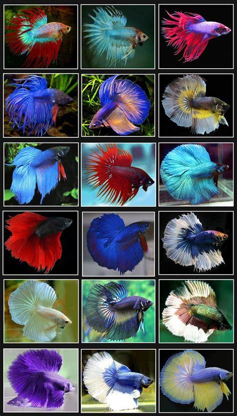 Makanan Ikan Cupang Jantan ikan cupang atau betta fish juragan mumut