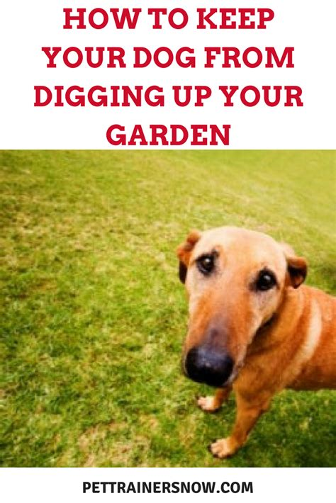 can u bury a dog in your backyard stop dog from digging in my experience molly hunting
