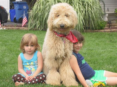 mini doodle nj the gallery for gt grown miniature goldendoodle puppies