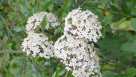 fiori recisi significato significato dei fiori il viburno pollicegreen